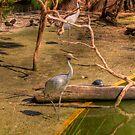 Swamp Birds by Daniel Rayfield
