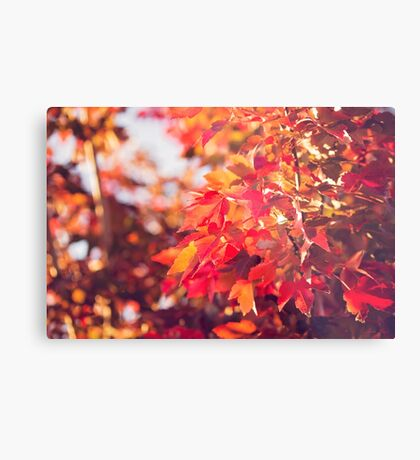 Autumn leaves of red and gold Metal Print