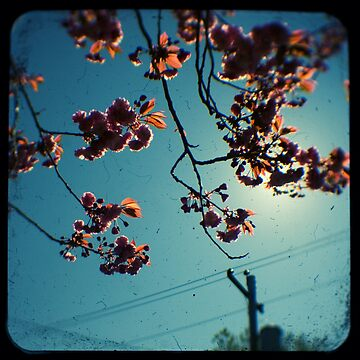 spring cherry tree ttv by adamgrahamphoto