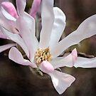 Magnolia Stellata by Astrid Ewing Photography