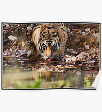 Tiger at Bandhavgarh closer still Poster