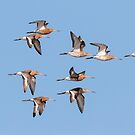 Godwits In Flight by peaky40