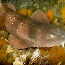 Blind Shark, Australia by Erik Schlogl