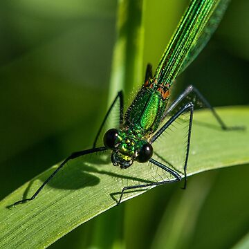 Banded demoiselle (female) Close Up by DonMc