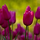 Pink Tulips by Sharon Morris