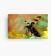 *CEROCTIS CAPENSIS* - IN ALL MY GLORY....HERE I COME! THE SPOTTED  BLISTER BEATLE! Canvas Print