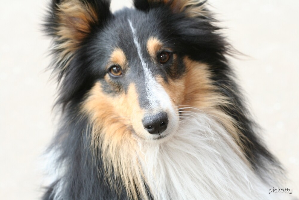 Lassie by picketty