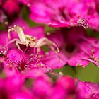 Crab Spider Awaits Her Meal by MattMasterson
