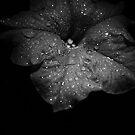 Midnight Velvet..... by GerryMac