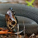 Cottonmouth Moccasin Posed For Strike by KSkinner