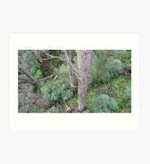 Tingle Forest, Valley of the Giants, Walpole, WA Art Print