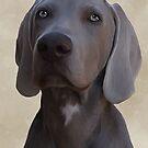Weimaraner puppy by Cazzie Cathcart