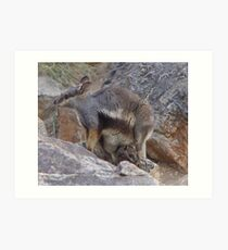 Black-footed rock wallaby Art Print