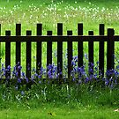 Bluebells and Fence by Yampimon