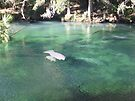 Manatees at Blue Springs by ValeriesGallery