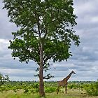 Giraffe in the Kruger National Park by Viv Thompson