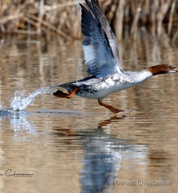 common merganser by Dennis Cheeseman