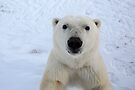Close Encounter - Polar Bear Portrait by Carole-Anne