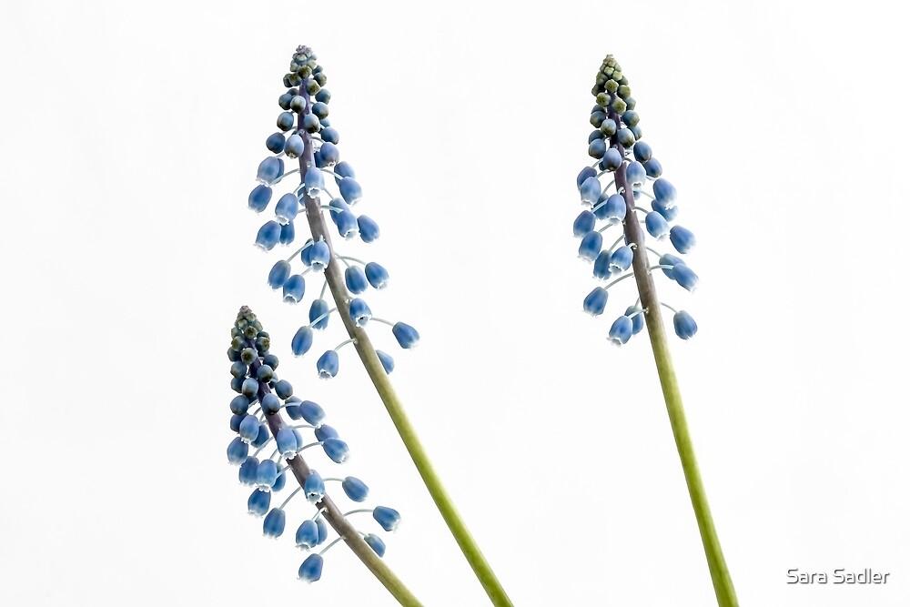 High Key Grape Hyacinth flowers  by Sara Sadler