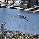 Blue Heron in Flight 1 by TheKoopaBros