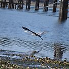 Blue Heron in Flight 2 by TheKoopaBros