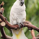 Citron Crested Cockatoo by Tracy Friesen