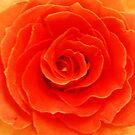 True Orange SC by Kathryn Eve Rycroft