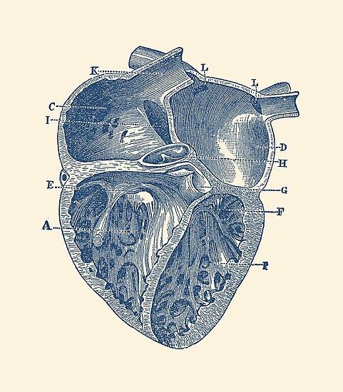 Láminas fotográficas «Diagrama interno del corazón - anatomía ...