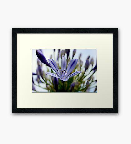 Blue Agaphantus Framed Print