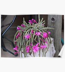 Rattail Cactus (Disocactus flagelliformis) Poster