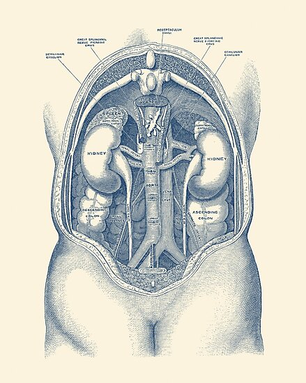 Menschliches Nierensystem - Weinlese-Anatomie\