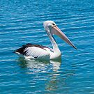 Pelican#2 by picketty