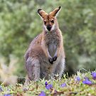Wallaby by picketty