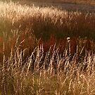 Autumn grasses by ColourCottage