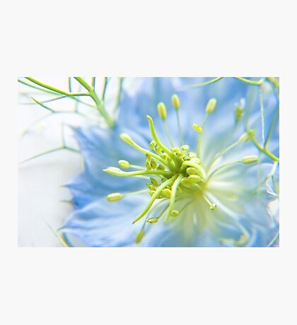 Love in a Mist Photographic Print