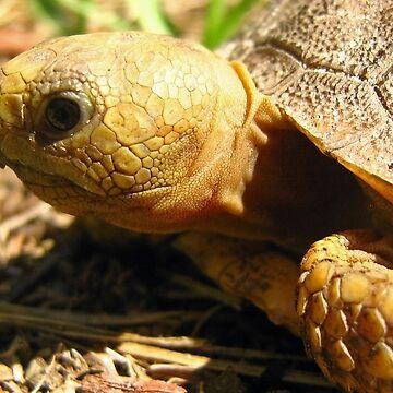 A Wee Little Gopher Tortoise by Heavenandus777
