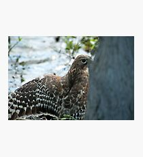 Hawk hiding in the shadows  Photographic Print