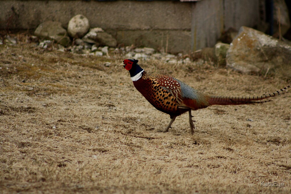 Ring-Necked Male Pheasant by KatsEye