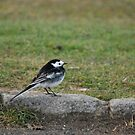 Pied Wagtail by dougie1