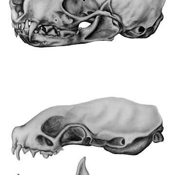 Stoat skulls anatomical study by ChristopherNeal