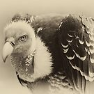 Rueppell's Vulture: After a shower by Lenka