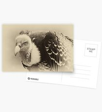 Rueppell's Vulture: After a shower Postcards