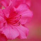 Pink Azaleas by cshphotos