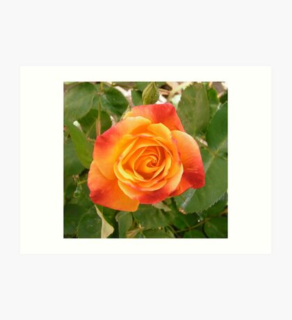 Orange and red rose Art Print