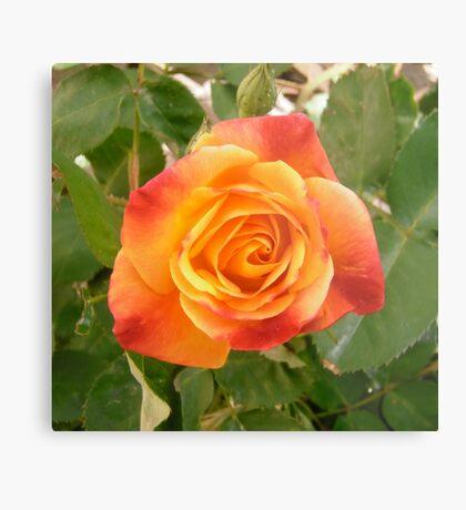 Orange and red rose Metal Print