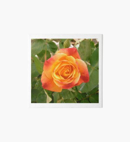 Orange and red rose Art Board