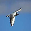 Black Headed Gull by Trevor Kersley