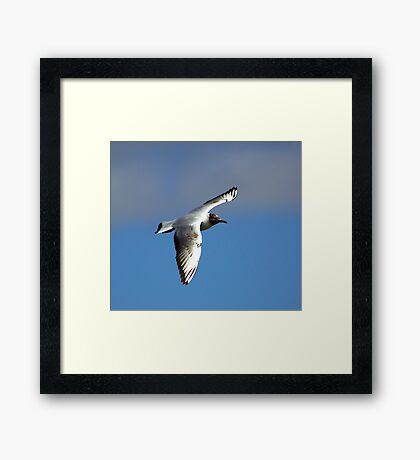 Black Headed Gull Framed Print