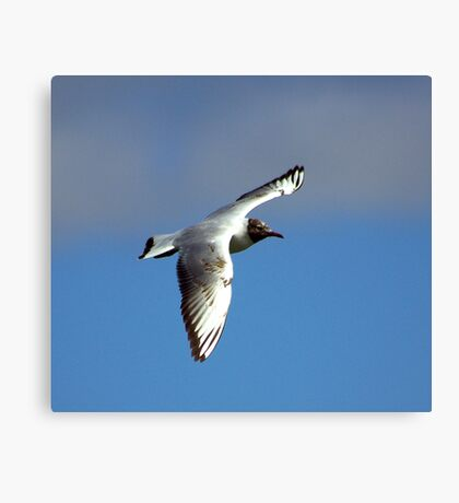 Black Headed Gull Canvas Print