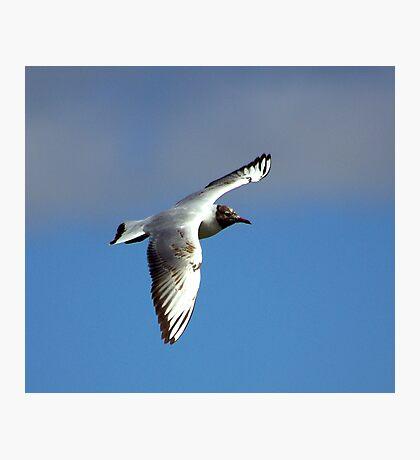 Black Headed Gull Photographic Print
